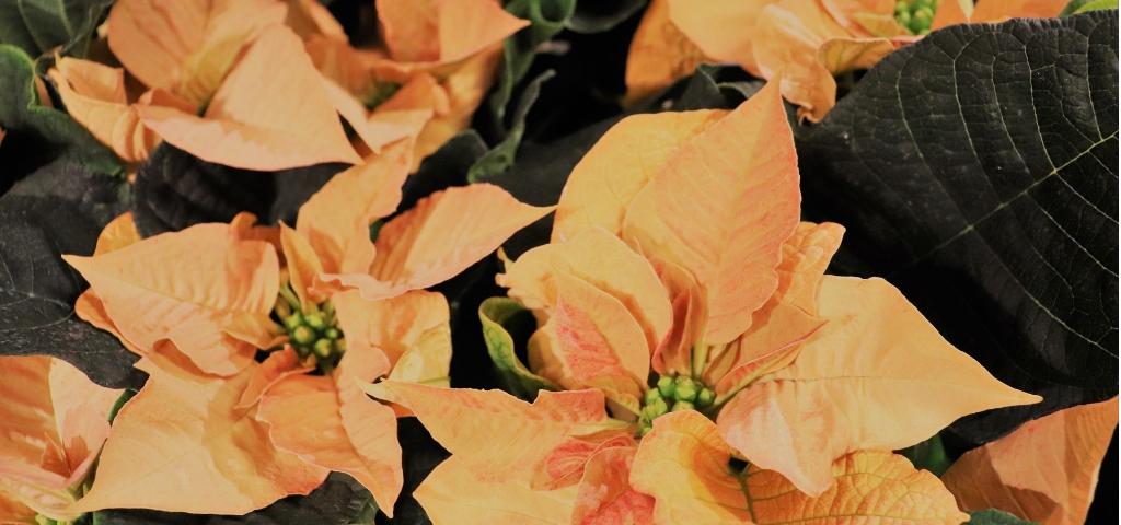 julens-alla-vackra-blommor-hittar-du-hos-nilssons-blommor-i-nassjo