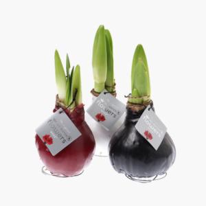 Vaxad amaryllis- Nilssonsblommor.se